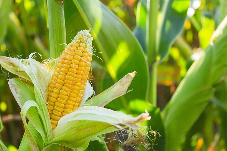 La zéaxanthine est à l'origine de la couleur du maïs.