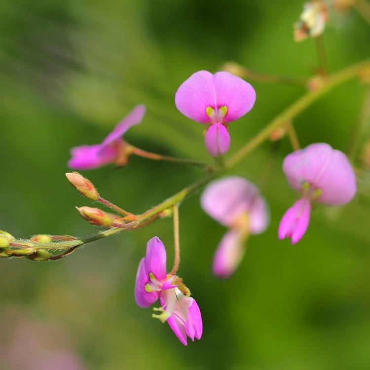 Desmodium adscendens plantes detox detoxification foie