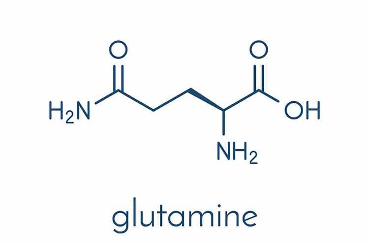 l-glutamine métabolisme entérocytes