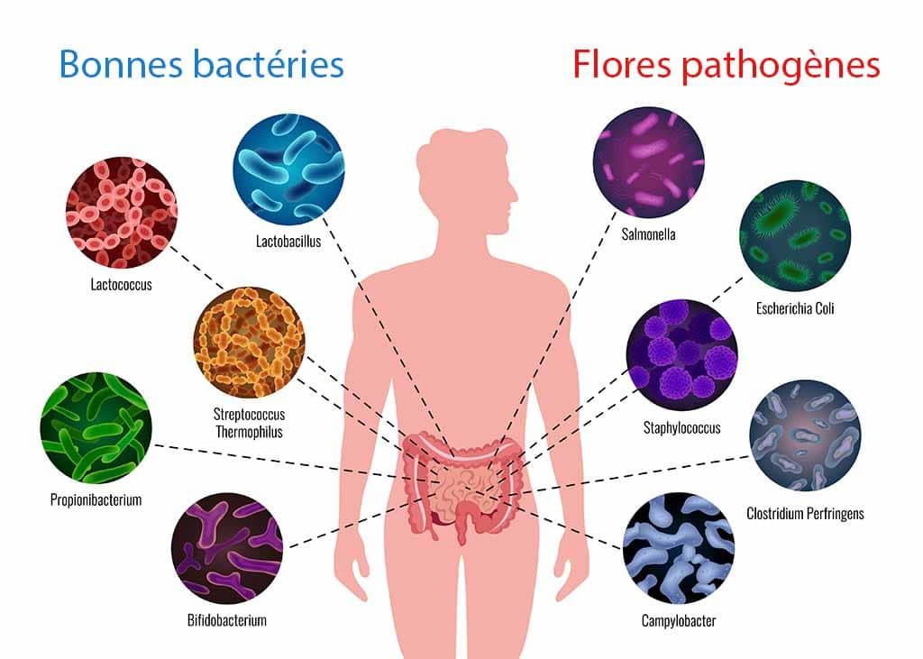 Microflore intestinale bonnes bactéries et flore pathogène