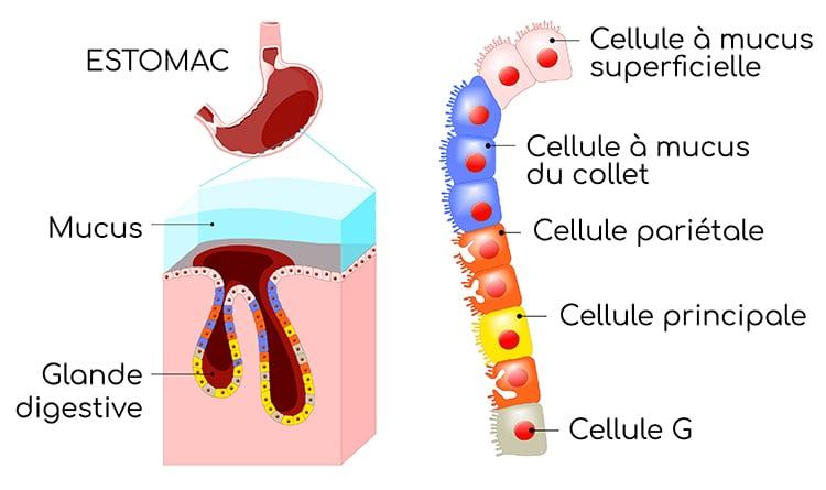 Cellules de l'estomac et muqueuse gastrique