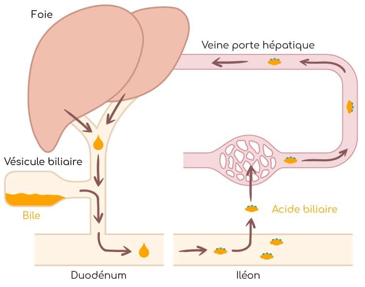cycle enterohepatique nutrixeal Info
