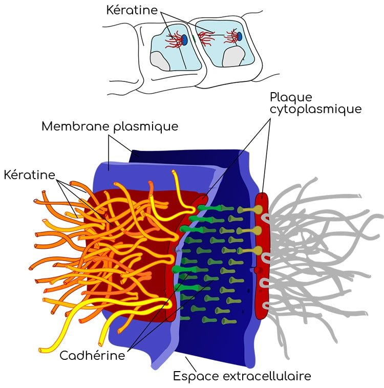 desmosomes nutrixeal info