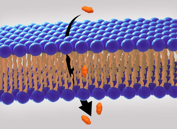 Diffusion passive au sein de la barrière intestinale nutrixeal info