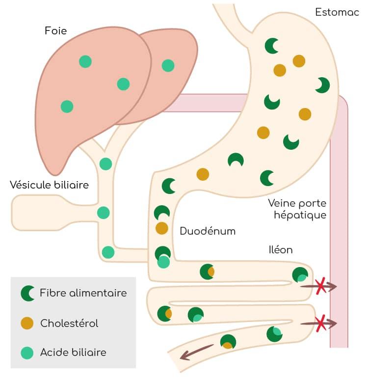 fibres alimentaires regulation absorption cholesterol et acides biliaires