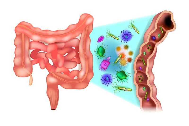 Ecosystème intestinal : centaines de milliards de bactéries par gramme