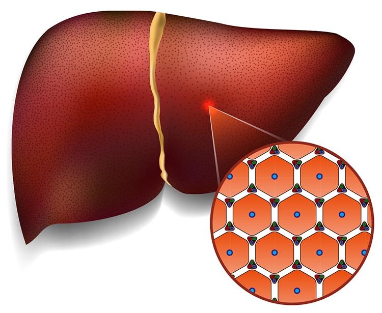 Hepatocytes, cellules du foie