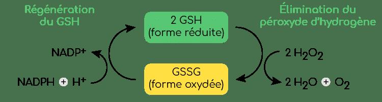 glutathion oxydé et réduit GSH - Nutrixeal Info v3