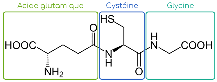 glutathion structure acide glutamique cystéine glycine - Nutrixeal Info