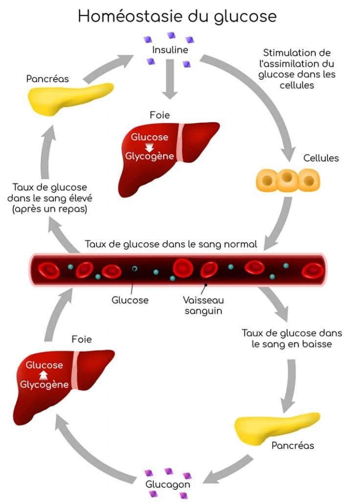 Homéostasie du glucose, foie et pancréas.