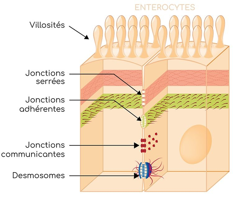 jonctions intercellulaires nutrixeal info