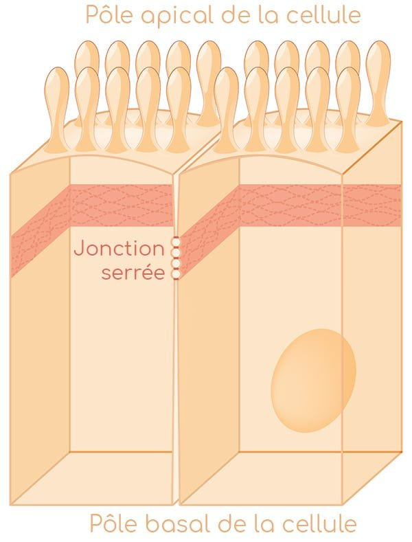 jonctions intercelllulaires nutrixeal info