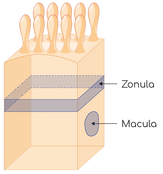 macula zonula jonctions intercellulaire nutrixeal info
