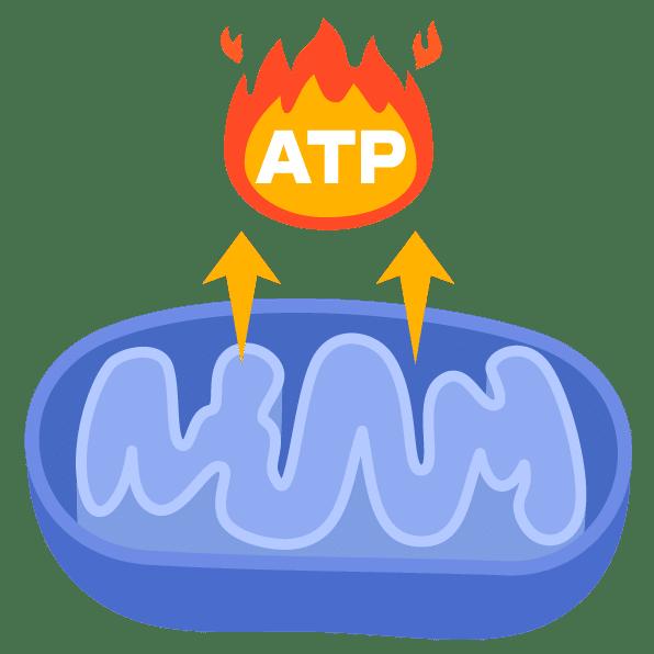 mitochondries metabolisme énergétique
