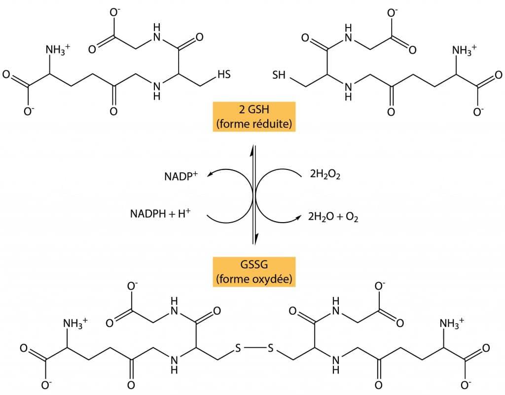 oxydoreduction glutathion gsh gssg