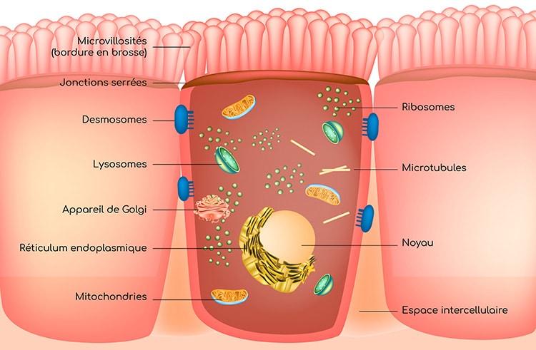 Structure des enterocytes formant l'épithelium intestinal