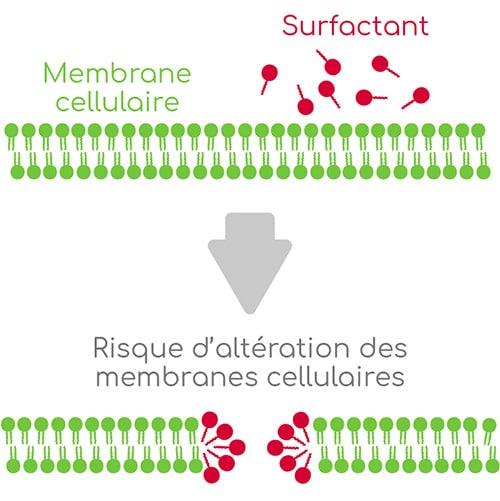 surfactant alteration membranes cellulaires