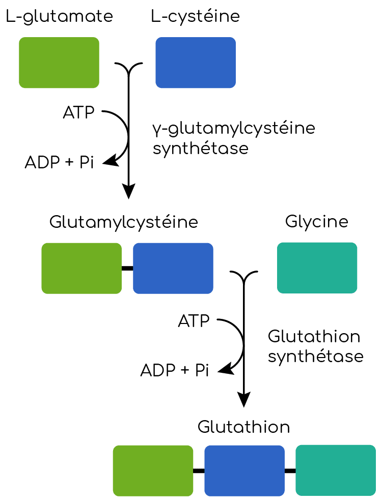 synthese glutahtion GSH Nutrixeal Info 2
