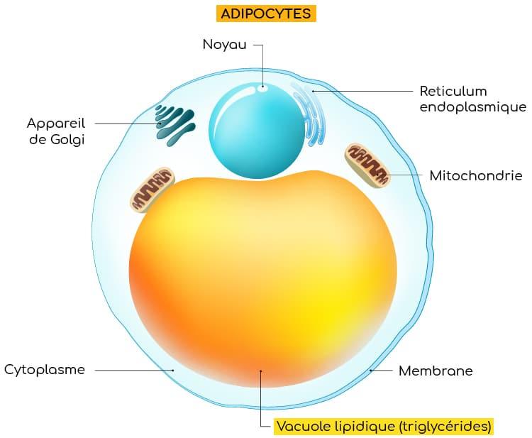 Adipocytes : stockage des lipides sous forme de triglycérides