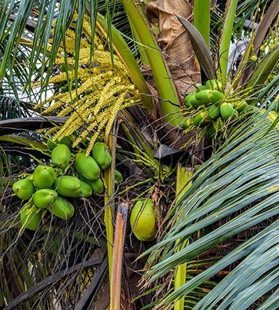 coco coconut Cocos nucifera nutrixeal Info