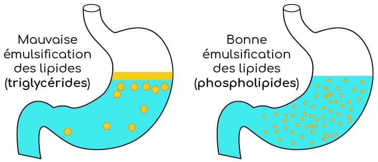 emulsification des huiles dans l'estomac nutrixeal info