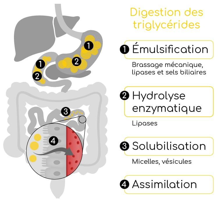 metabolisme des lipides nutrixeal info 3