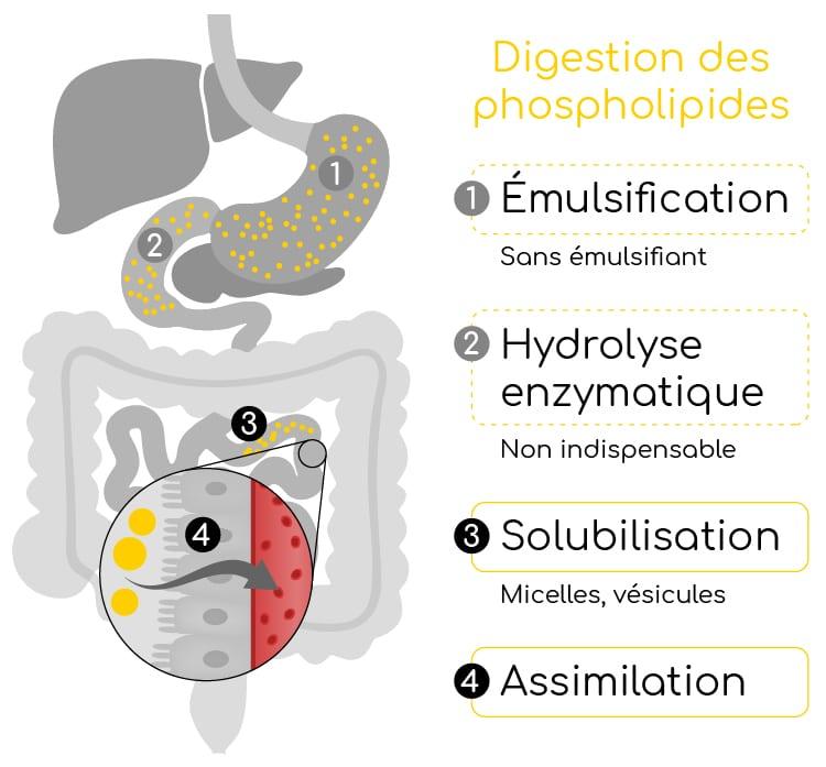 metabolisme des phospholipides nutrixeal info