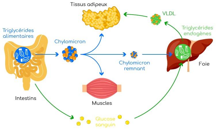 voies endogène et exogene des triglycérides nutrixeal info