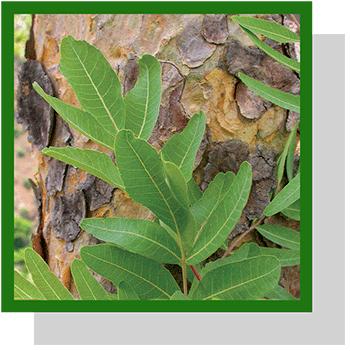 boswellia serrata  index nutraceutique Nutrixeal Info