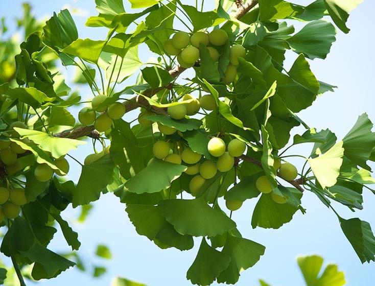 Fruit du Ginkgo biloba.