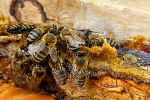 Les abeilles produisent la propolis à partir de la résine des arbres.