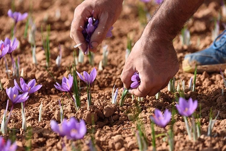recolte safran crocus sativus nutrixeal info