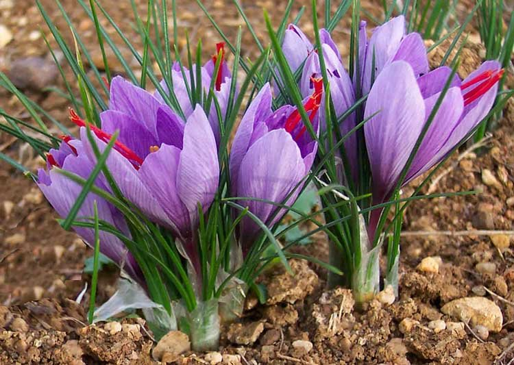safran crocus sativus nutrixeal info