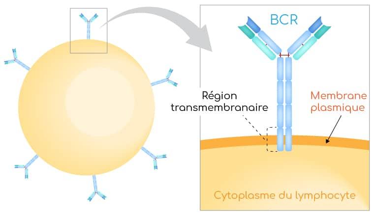 Recepteur BCR lymphocyte B Nutrixeal Info
