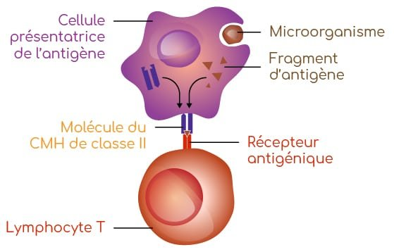 cellules presentatrice antigenes Nutrixeal info