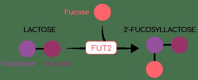 fucosyllactose et FUT2 Nutrixeal Info