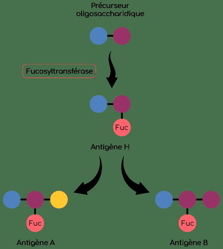 fucosyltransferase et antigene H Nutrixeal Info