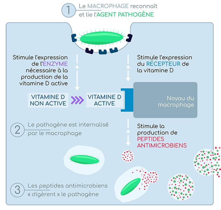 macrophage et vitamine D