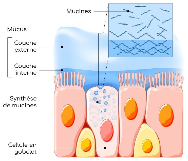 mucus et mucines Nutrixeal Info