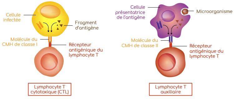 recepteur antigenique lymphocyte T Nutrixeal Info