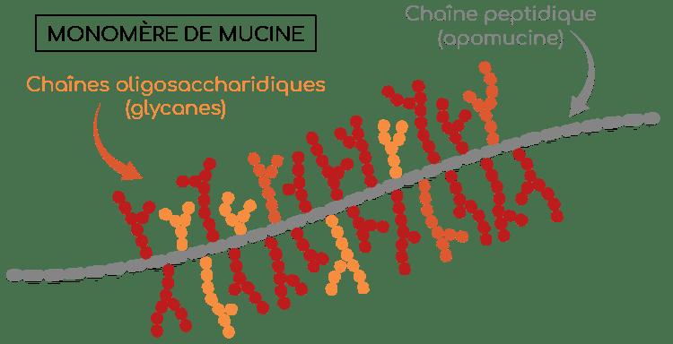 structure mucine monomère Nutrixeal Info 2