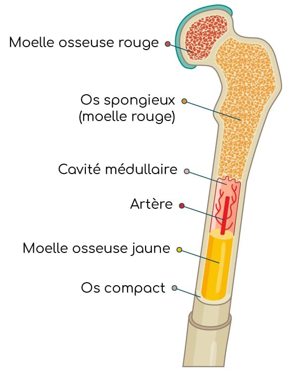 structure os et moelle osseuse Nutrixeal Info
