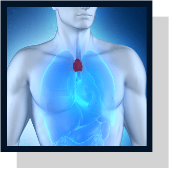 Thymus Index physiologique Nutrixeal Info