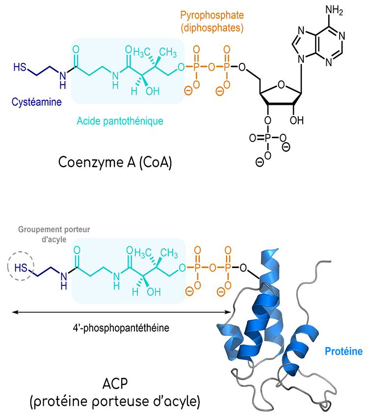 vitamine B5 acide pantothenique structure chimique Coenzyme A CoA et ACP