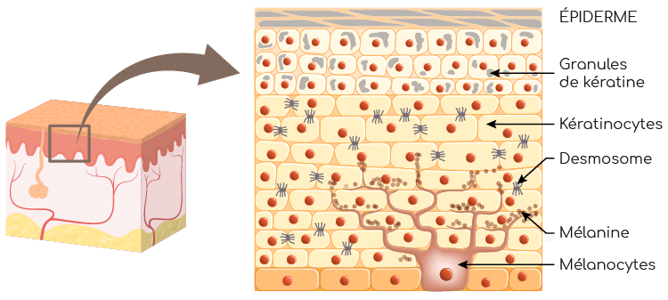 épiderme keratine et melanine Nutrixeal Info