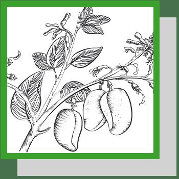 griffonia simplicifolia index nutraceutique Nutrixeal Info