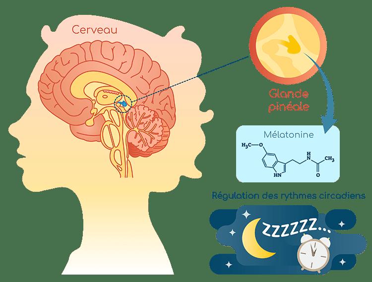 melatonine glande pineale et rythmes circadiens Nutrixeal Info