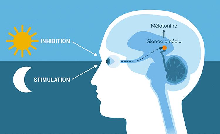 melatonine glande pineale regulation Nutrixeal Info