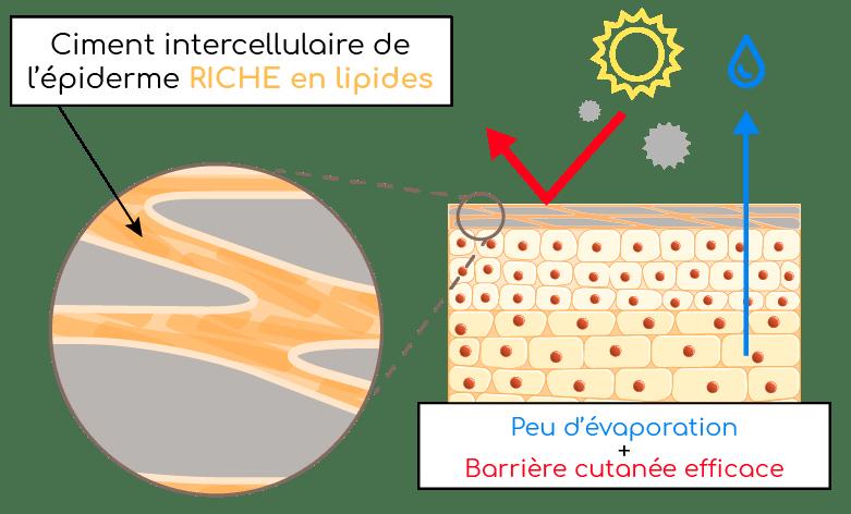 peau et ciment intercellulaire cutané Nutrixeal Info 1