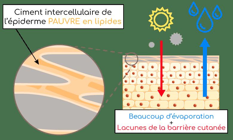 peau et ciment intercellulaire cutané Nutrixeal Info 2